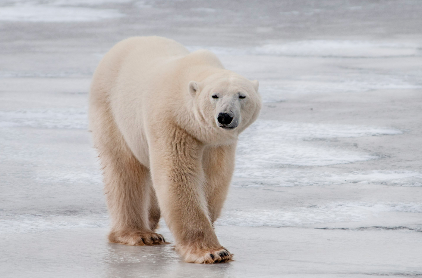 Polar Bear on Ice.jpg