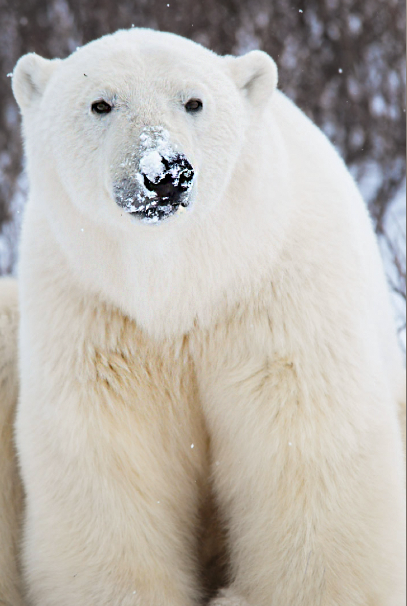 Polar Bear Snow Face.jpg