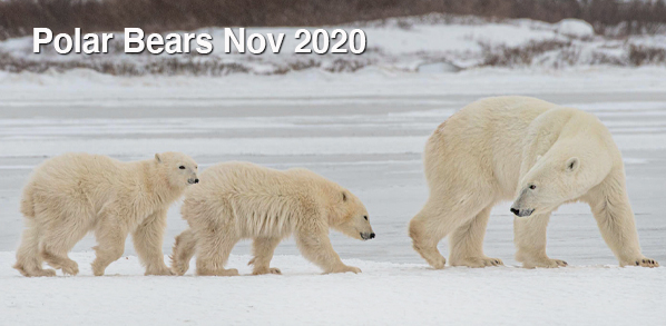 Level3PolarBearsNov.jpg