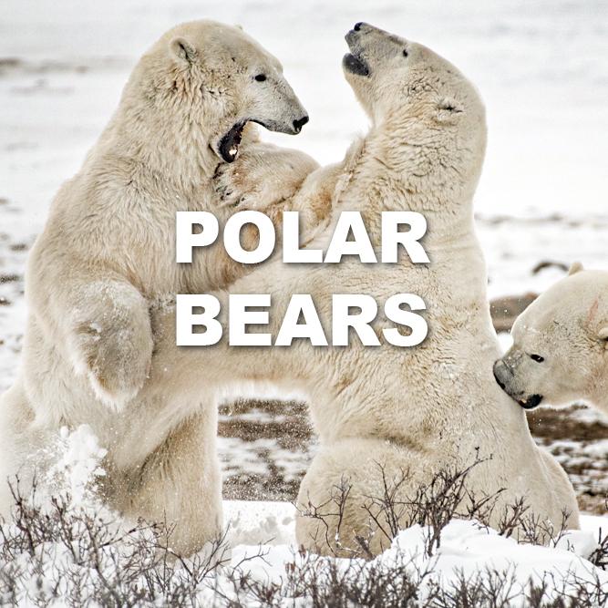 PolarBears1121.jpg