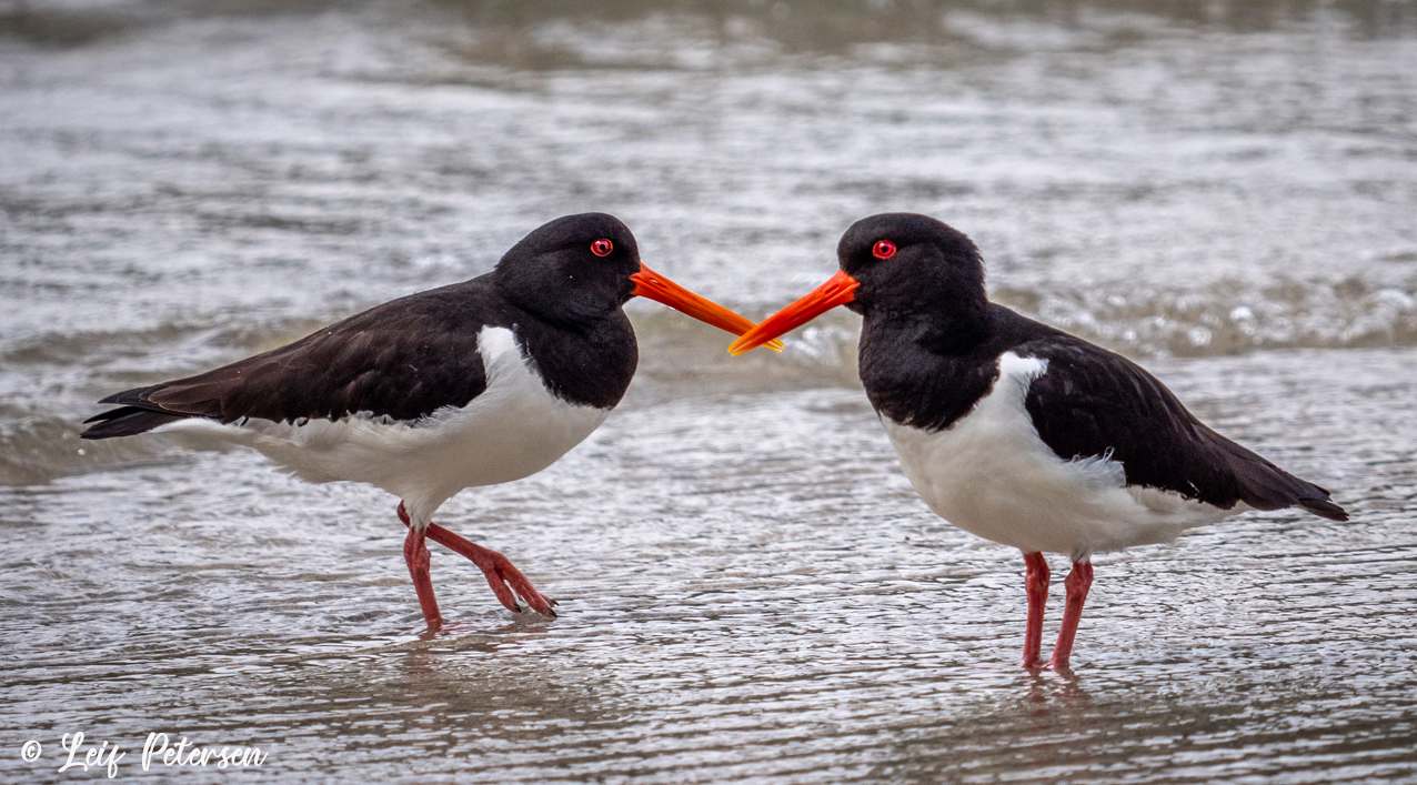 Oyster Catchers_s.jpg